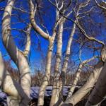 10012014-20140110_Etna - Betulle Bianche _0319