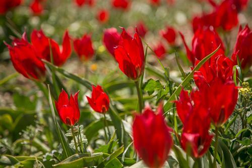 500 Tulipani e Peonie delle Madonie-0363