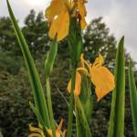 Iris Gialli Caronia-0010