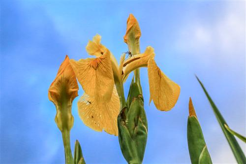 500 Iris Gialli Caronia-0040 - Copia