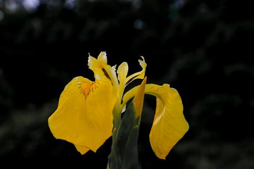 500 Iris Gialli Caronia-0044 - Copia