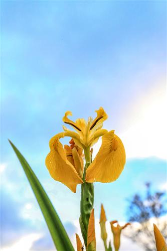 500 Iris Gialli Caronia-0045 - Copia