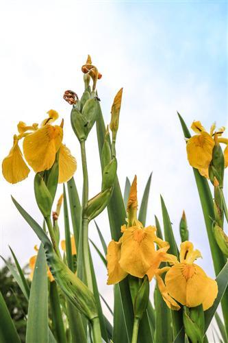 500 Iris Gialli Caronia-0046 - Copia